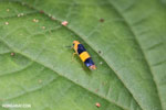 Orange and black leafhopper [costa_rica_osa_0484]