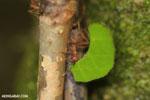 Leaf-cutter ants [costa_rica_osa_0491]