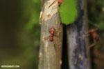 Leaf-cutter ants [costa_rica_osa_0492]