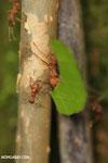 Leaf-cutter ants [costa_rica_osa_0493]