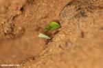 Leaf-cutter ants [costa_rica_osa_0495]