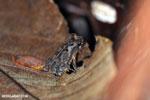 Frog [costa_rica_osa_0500]