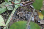 Frog [costa_rica_osa_0504]