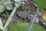 Frog [costa_rica_osa_0505]
