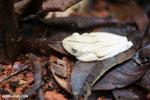 Gladiator Tree Frog (Hypsiboas rosenbergi) [costa_rica_osa_0517]