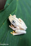Gladiator Tree Frog (Hypsiboas rosenbergi) [costa_rica_osa_0518]