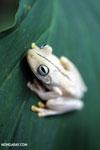Gladiator Tree Frog (Hypsiboas rosenbergi) [costa_rica_osa_0520]