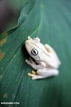 Gladiator Tree Frog (Hypsiboas rosenbergi) [costa_rica_osa_0522]
