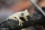 Gladiator Tree Frog (Hypsiboas rosenbergi) [costa_rica_osa_0533]