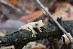 Gladiator Tree Frog (Hypsiboas rosenbergi) [costa_rica_osa_0534]
