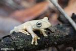 Gladiator Tree Frog (Hypsiboas rosenbergi) [costa_rica_osa_0535]