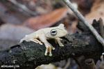 Gladiator Tree Frog (Hypsiboas rosenbergi) [costa_rica_osa_0538]
