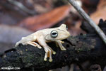 Gladiator Tree Frog (Hypsiboas rosenbergi) [costa_rica_osa_0539]
