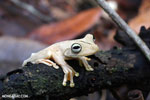 Gladiator Tree Frog (Hypsiboas rosenbergi) [costa_rica_osa_0540]