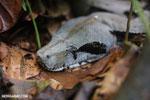 Boa constrictor [costa_rica_osa_0545]