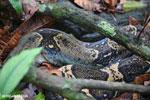 Boa constrictor [costa_rica_osa_0546]