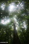 Rainforest tree on the Osa Peninsula
