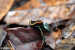 Phyllobates vittatus Dart Frog [costa_rica_osa_0569]