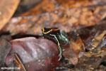 Golfo Dulce Poison Dart Frog [costa_rica_osa_0570]
