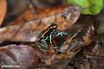 Golfo Dulce Poison Arrow Frog [costa_rica_osa_0572]