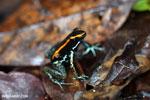 Golfo Dulce Poison Dart Frog (Phyllobates vittatus)