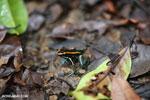 Phyllobates vittatus Dart Frog [costa_rica_osa_0576]