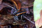 Golfo Dulce Poison Dart Frog (Phyllobates vittatus)  [costa_rica_osa_0581]