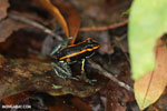 Phyllobates vittatus Dart Frog [costa_rica_osa_0583]