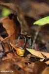 Golfo Dulce Poison Arrow Frog [costa_rica_osa_0585]
