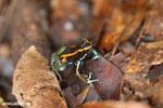 Golfo Dulce Poison Dart Frog (Phyllobates vittatus)  [costa_rica_osa_0587]