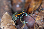 Golfo Dulce Poison Dart Frog (Phyllobates vittatus)  [costa_rica_osa_0590]