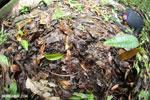 Golfo Dulce Poison Dart Frog (Phyllobates vittatus)  [costa_rica_osa_0591]