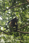 Costa Rican Spider Monkey [costa_rica_osa_0599]