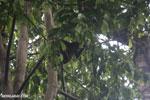 Geoffroy's Spider Monkey [costa_rica_osa_0603]