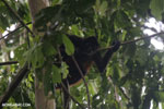 Costa Rican Spider Monkey [costa_rica_osa_0606]