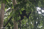 Geoffroy's Spider Monkey [costa_rica_osa_0609]