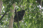 Geoffroy's Spider Monkey [costa_rica_osa_0611]