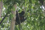 Geoffroy's Spider Monkey [costa_rica_osa_0613]