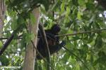 Costa Rican Spider Monkey [costa_rica_osa_0614]