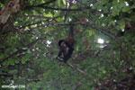 Baby spider monkey [costa_rica_osa_0618]