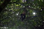 Baby spider monkey [costa_rica_osa_0620]