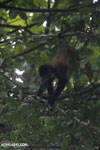 Baby spider monkey [costa_rica_osa_0625]