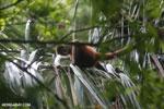 Geoffroy's Spider Monkey [costa_rica_osa_0630]