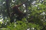 Costa Rican Spider Monkey [costa_rica_osa_0632]