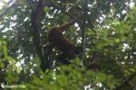 Geoffroy's Spider Monkey [costa_rica_osa_0633]