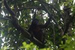 Geoffroy's Spider Monkey [costa_rica_osa_0635]