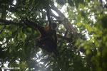 Group of Geoffroy's Spider Monkeys [costa_rica_osa_0641]