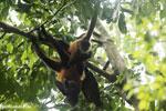Group of Geoffroy's Spider Monkeys [costa_rica_osa_0651]