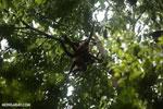 Group of Geoffroy's Spider Monkeys [costa_rica_osa_0653]
