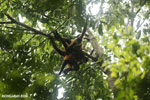 Group of Geoffroy's Spider Monkeys